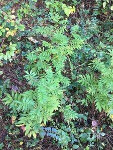 Agrimonia parviflora - Joey Shaw