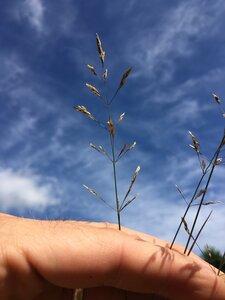 Agrostis gigantea - Dwayne Estes