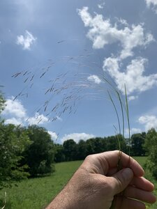 Agrostis hyemalis - Dwayne Estes