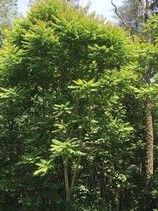 Ailanthus altissima - Dwayne Estes