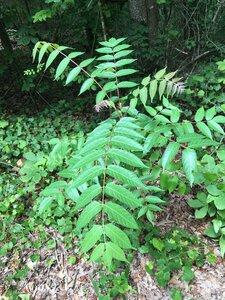 Ailanthus altissima - Joey Shaw