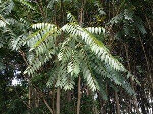 Ailanthus altissima - Milo Pyne