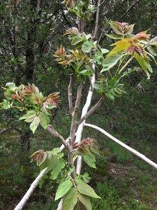 Ailanthus altissima - Tara Littlefield