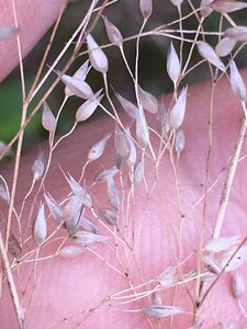 Aira caryophyllea - Joey Shaw