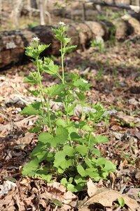 Alliaria petiolata - Ashley B. Morris