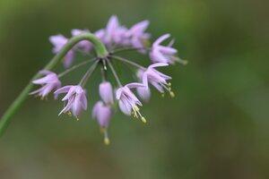 Allium cernuum - Ashley B. Morris