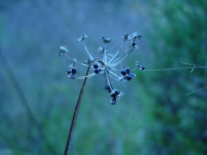 Allium cernuum - Dwayne Estes