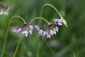 Allium cernuum - Sunny Fleming