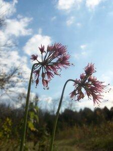 Allium stellatum - Dwayne Estes