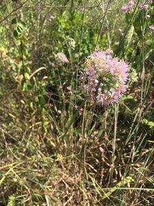 Allium stellatum - Theo Witsell