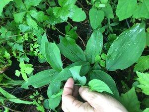 Allium tricoccum - Joey Shaw