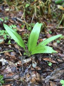 Allium tricoccum - Sunny Fleming