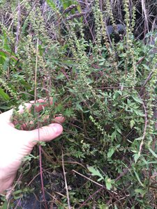 Ambrosia artemisiifolia - Joey Shaw