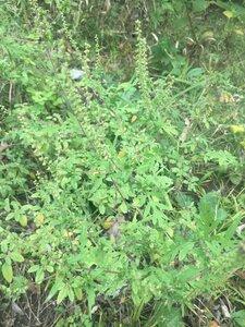 Ambrosia artemisiifolia - Tara Littlefield