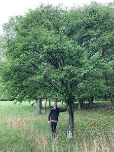 Amelanchier arborea - Dwayne Estes