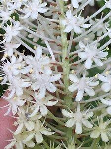 Amianthium muscitoxicum - Joey Shaw