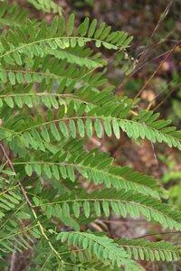 Amorpha fruticosa - Dwayne Estes