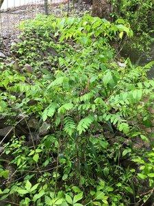 Amorpha fruticosa - Joey Shaw