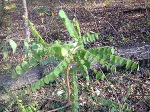 Amorpha fruticosa - Milo Pyne
