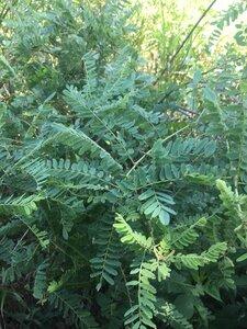 Amorpha fruticosa - Theo Witsell