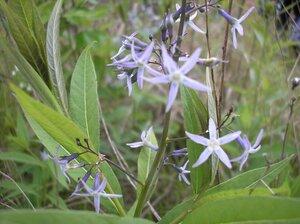 Amsonia tabernaemontana var. salicifolia - Tara Littlefield