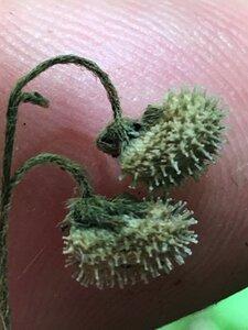 Andersonglossum virginianum - Joey Shaw