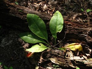 Andersonglossum virginianum - Milo Pyne