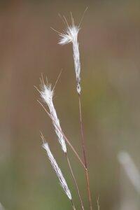 Andropogon ternarius - Dwayne Estes