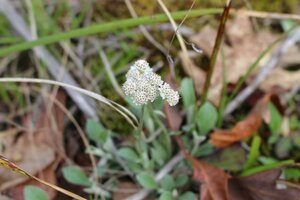 Antennaria plantaginifolia - Ashley B. Morris