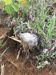 Antennaria plantaginifolia - Dwayne Estes