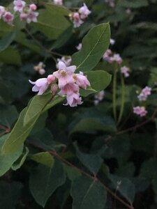 Apocynum androsaemifolium - Tara Littlefield