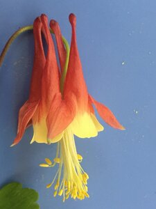 Aquilegia canadensis - Joey Shaw