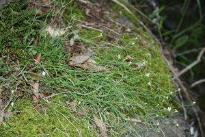 Arabidopsis lyrata ssp. lyrata - Dwayne Estes