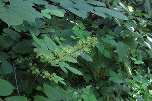 Aralia racemosa - Milo Pyne
