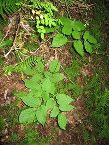 Aralia racemosa - Tara Littlefield