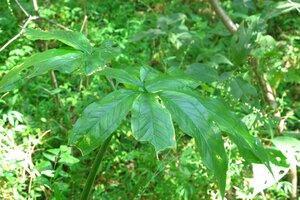 Arisaema dracontium - Milo Pyne