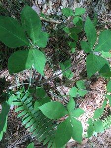 Arisaema quinatum - Joey Shaw