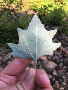 Arnoglossum atriplicifolium - Dwayne Estes