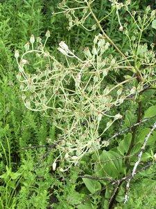 Arnoglossum plantagineum - Milo Pyne