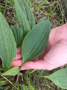 Arnoglossum plantagineum - Sunny Fleming