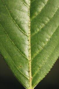Aronia arbutifolia - Dwayne Estes