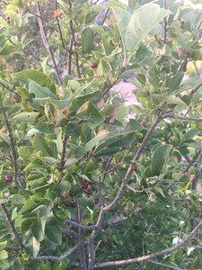 Aronia arbutifolia - Tara Littlefield