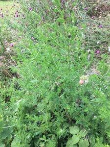 Artemisia annua - Dwayne Estes