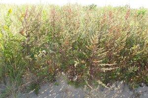 Artemisia vulgaris - Milo Pyne