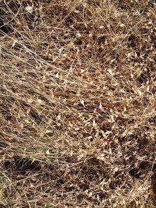 Arthraxon hispidus var. hispidus - Milo Pyne