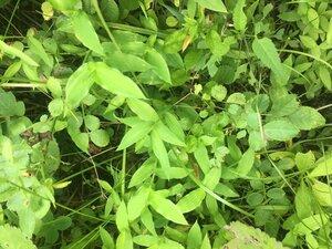 Arthraxon hispidus var. hispidus - Tara Littlefield