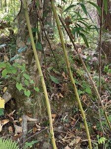 Arundinaria gigantea - Dwayne Estes