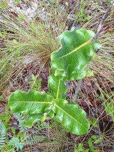 Asclepias amplexicaulis - Milo Pyne