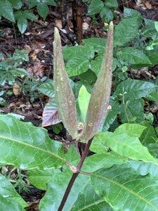 Asclepias variegata - Dwayne Estes
