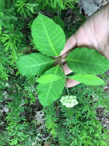 Asclepias variegata - Joey Shaw